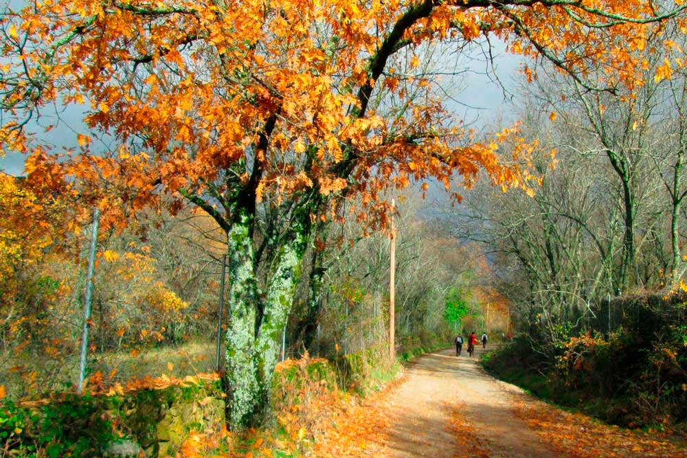 Camino con robles dorados en otoño en los alrededores de Soto del Real