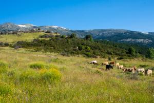 panorámica de la Sierra de Madrid con nuestro ganado pastando